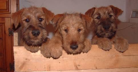 Its On Us >> Edbrios Irish Terrier Litters & Puppies